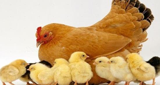 تعبیر خواب مرغ ، مرغ و ماهی خوردن و مرغ خانگی و مرغ دریایی
