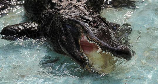 تعبیر خواب تمساح ، سبز و سفید در آب استخر و مار کوچک در خانه و رودخانه