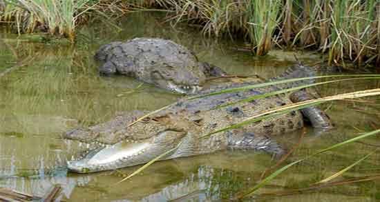تعبیر خواب تمساح