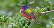 شعر در مورد پرنده ، شاهین و مهاجر و قفس برای کودکان