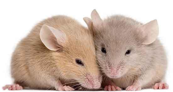 تعبیر خواب موش , تعبیر خواب کشتن موش , تعبیر خواب ترسیدن از موش , تعبیر خواب موش مرده سفید در خانه