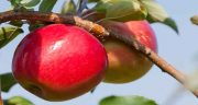 تعبیر خواب سیب ، قرمز و سبز و زرد و درختی خوردن برای زن باردار