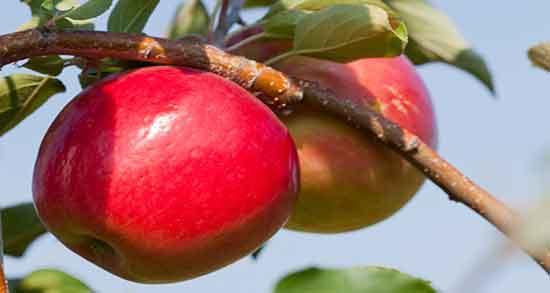 تعبیر خواب سیب ، تعبیر خواب سیب قرمز ، تعبیر خواب سیب سبز ، تعبیر خواب سیب زرد
