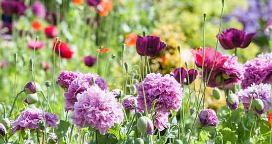 عکس گل بابونه دشت,عکس گل بابونه کوهی,عکس گل برای تولدت مبارک