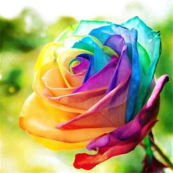 عکس گل های رز زیبای جهان,تصاویر از گل های زیبای جهان