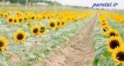 شعر گل آفتابگردان ؛ شعر زیبا و عاشقانه در مورد آفتابگردان