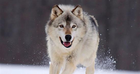 شعر در مورد گرگ ، درون و گرگ صفتان و گرگ و میش و انسان