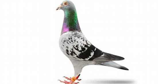 شعر در مورد کبوتر