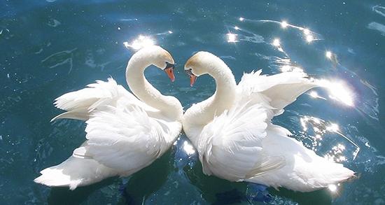 شعر در مورد قو ، شعر و متن کوتاه صدای آواز قو و راز عشق قو + شکل پرنده قو