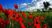 شعر در مورد شقایق ، شعر کوتاه حافظ و مولانا و شاملو درباره دشت گل شقایق وحشی