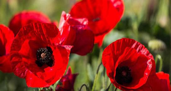 شعر در مورد گل شقایق ، متن و شعر شقایق گل همیشه عاشق از حافظ و مولانا