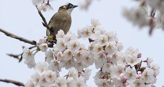 شعر در مورد شکوفه های بهار ، متن کوتاه و زیبا درباره شکوفه درختان حافظ و شاملو