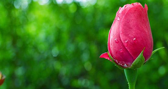 شعر در مورد غنچه ، شعر کوتاه در وصف گل سرخ و نرگس و یاس از مولانا و حافظ
