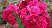 شعر در مورد گل محمدی ، شعر کوتاه در وصف گل سرخ و گلاب از حافظ و مولانا