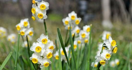 شعر در مورد گل نرگس ، متن قشنگ و دوبیتی عاشقانه درباره اسم نرگس و بوی نرگس