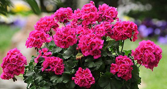 شعر در مورد گل شمعدانی ، دلنوشته شمعدانی های عاشق پشت پنجره از شاملو