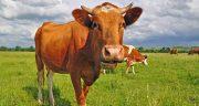 شعر در مورد گاو ، متن زیبا در مورد گاو برای کودکان + شعر نو و طنز درباره گاو