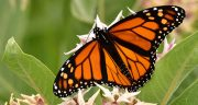 متن در مورد پروانه ، متن پروانه شدن + پروانه و گل در شعر حافظ و سعدی و مولانا
