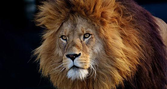 جملات سنگین درباره شیر جنگل ، جملات زیبا درباره شیر جنگل و شغال و سلطان