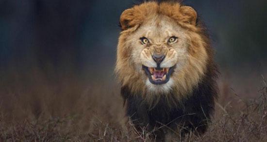 متن در مورد شیر جنگل ، شیر سلطان جنگل + متن لاتی درباره شیر و شغال