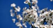 متن زیبا درباره شکوفه درختان ، متن زیبا در مورد شکوفه زدن درختان