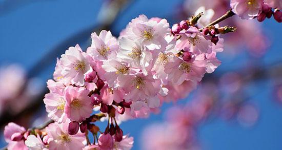 متن برای شکوفه های بهاری ، شعر زیبا برای شکوفه های بهاری