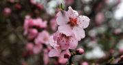 متن شکوفه های بهاری ویگن ، شعر شکوفه میرقصد از باد بهاری