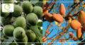 تشخیص نهال استاندارد | هشدار ! کشاورزان در دام نهالستان های متقلب نیفتند