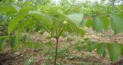 باغداران عزیز، برای سودآوری بیشتر در خرید نهال گردو دقت کافی به خرج دهید!